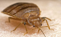 Bed Bugs and Other Pests Can Cause Allergies and Diseases