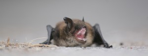 Hissing Bat