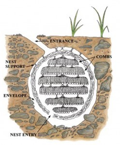 Underground Yellowjacket Nest Drawing
