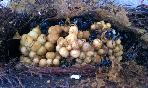 Bumblebee nest - photo#18