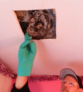 Auburn Pest Control Removing Wasp Nest from Ceiling