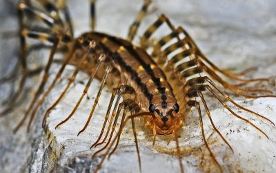 How To Get Rid of House Centipedes